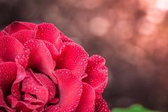 Red Rose at Sunrise. (Omygodtom) Tags: flora red rose waterdrops sunshine fleur dof tamron90mm macro bokeh gold leica silhouette outdoors