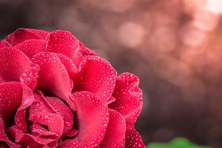 Red Rose at Sunrise.