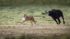 Running Race! (KevinBJensen) Tags: grazing field grassland grass herbivorous graze cattle animal green wildlife mammal animals wild africa forest meadow savanah cat carnivore lion buffalo chase race prey nikon asia nisthi nistar wilderness