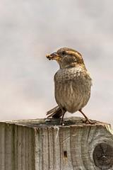 House Sparrow (_John Hikins) Tags: sparrow bird birds animal nikon nikkor nature wildlife dawlish warren sigma 150600mm 150600c 150600 d500 devon post