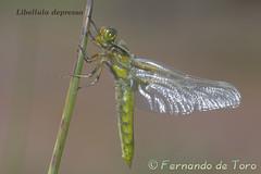 Libellula depressa Macho Emergiendo (F de Toro) Tags: adulto andalucia animales anisoptera capileira charcas dragonflies fauna granada hembra invertebrados libelluladepressa libelula odonatos sierranevada