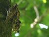 Treecreepers (ukstormchaser (A.k.a The Bug Whisperer)) Tags: treecreeper treecreepers uk bird birds animal animals wildlife milton keynes juvenile fledgling feeding may perched tree trees morning