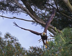 Bald Eagle takes flight (jimbobphoto) Tags: jump fly raptor eagle flight tree bird nature pennsylvania