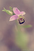 Ophrys abeille (christian.grelard) Tags: vert orchid orchidée ophrys fleur flower nature wild sauvage macro macrophotography sigma sigma105mm garden spring printemps