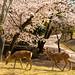 鹿と桜 / Cherry Blossoms and Shika Deer