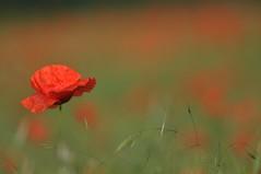 Liebesgedicht an den Mohn (Uli He - Fotofee) Tags: ulrike ulrikehe uli ulihe ulrikehergert hergert nikon nikond90 fotofee mohn weinberg hünfeld mohnblüte mohnträume rot juni frühling sommergefühl eingefühlvonsommer naturschutzgebiet natur