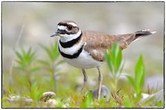 Killdeer protecting nest (1) (RKop) Tags: d500 nikkor600f4evr 14xtciii raphaelkopanphotography grandvalleypreserve ohio