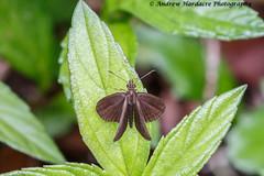 Astictopterus jama chinensis - Forest Hopper (57Andrew) Tags: harlechroad astictopterusjama butterfly hongkong skipper hesperiidae thepeak lepidoptera foresthopper