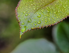 Red Tip Macro. (Omygodtom) Tags: leaf 7dwf macro waterdrops tamron90mm dof digital contrast bokeh zeiss green usgs