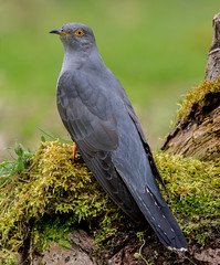 DSC8805  Cuckoo... (jefflack Wildlife&Nature) Tags: cuckoo cuckoos parasite summermigrant birds avian animal animals wildlife wildbirds wetlands woodlands forest farmland reeds reedbeds moorland marshland meadows marshes countryside copse glades nature