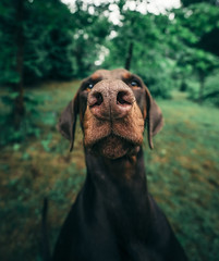 The measurement of beauty (@phanttoni) Tags: dobermann doberman dog smile beautiful woman demi animal photoshop phanttoni vingette green summer rain dark sony sonya7 a7 ilce7 zeiss 1635 f4 finland jämsä jämsänkoski dogphotography wide angle
