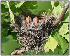 Eastern king birds (jr) [EXPLORED, June 8 2018, #45] (RKop) Tags: d500 grandvalleypreserve ohio raphaelkopanphotography nikkor600f4evr 14xtciii tripod