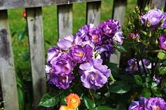 DSC_0159 (PeaTJay) Tags: nikond750 reading lowerearley berkshire macro micro closeups gardens outdoors nature flora fauna plants flowers rose roses rosebuds