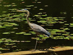 Great Blue Heron At Cash Lake 2018 (matthewbeziat) Tags: greatblueheron ardeaherodias patuxentresearchrefuge patuxentresearchrefugesouthtract maryland princegeorgescounty marylandbirds americanbirds