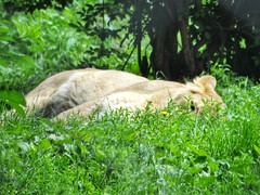 Some of the animals seen at Chester Zoo. (sean.walton.91) Tags: lion lioness chester chesterzoo
