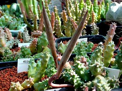 Duvalia caespitosa Haw. pods (Skolnik Collection) Tags: duvalia caespitosa haw succulent plant africa skolnik collection winter hardy propagation fitotron fytotron macro photo digital camera benq asclepiadaceae asclepiad selected flower detail nature close stapeliad nursery huernia sempervivum sedum seed pods
