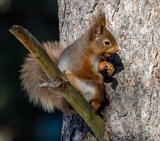 JWL8837  Red Squirrel..