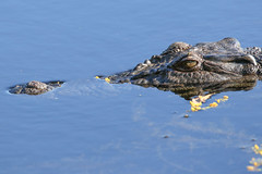Freshwater Crocodile (Janis May) Tags: foggdam crocodile northernterritory