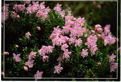 Postcrossing DE-7262831 (booboo_babies) Tags: pink dwarfalpenrose rhodothamnuschamaecistus flowers germany postcrossing