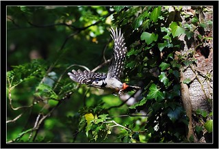 GREAT SPOTTED WOODPECKER LEAVING THE  NEST SITE