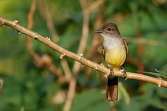Myiarchus ferox DSpK11 040118 AV-28rc2100 (alapi973) Tags: kingbird amazonia neotropical bird frenchguiana myiarchusferox