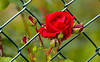Roses rouges (Diegojack) Tags: plantes d7200 nikon fleurs echandens vaud suisse rouge roses boutons barrière treillis