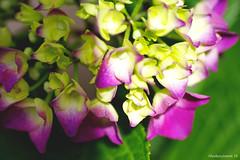 Hydrangea #5 (bluehazyjunem) Tags: macromondays allnatural hydrangeas petals leaves flower plant