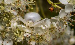 Misumena vatia (markhortonphotography) Tags: misumenavatia surrey macro pyracantha markhortonphotography nature wildlife surreyheath crabspider arachnid insect spider thatmacroguy invertebrate