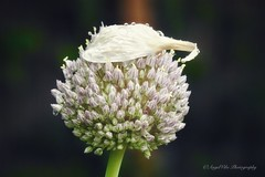 Allium wearing a rain bonnet (AngelVibePhotography) Tags: outdoor outdoors nikon blossom flower beautiful blossoms closeup northerncardinal allium blooms garden flowers plant nature raleighnc springtime purple photography macro raindrops nikonp900 northcarolina buds