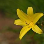 Daylily thumbnail