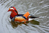 MANDARIN DUCK (GA High Quality Photography) Tags: animal nature beauty beautiful love happy cute summer art fun amazing stunning photography wildlife new popular domesticanimal