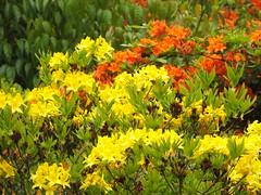 Two Beautiful Azaleas (Cornishcarolin. Stupid busy!! xx) Tags: cornwall httpswwwnationaltrustorguktrelissick flowers azaleas bush nature