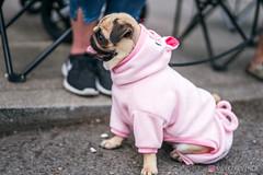 PugCrwal-32 (sweetrevenge12) Tags: portland oregon unitedstates us pug parade crawl brewing sony pugs dog pet