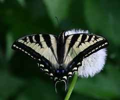 Canadian Tiger Swallowtail, eh! :) (Paridae) Tags: swallowtail swallowtailbutterfly canadiantigerswallowtail tigerswallowtail papiliocanadensis butterfly butterfliesofbritishcolumbia yellowandblackbutterfly largebutterfly thingswithwings afewofmyfavouritethings canoneos1dx h
