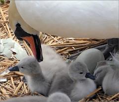 Swan Chicks (jo92photos) Tags: swan chicks abbotsbury swannery pen cygnets newlyhatched swanegg nest 15challengeswinner