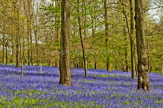 Bluebell Woods at The Spinney in Greys Court Rotherfield Greys near Henley on Thames Oxfordshire England UK