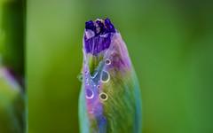 water_drops-17_MaxHDR_Dehaze_SpotRemov (old_hippy1948) Tags: raindrops