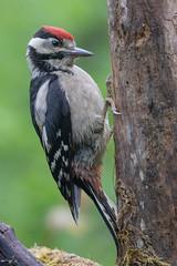 Pic épeiche juvénile (Dendrocopos major) (fra298) Tags: dendrocoposmajor oiseau bird animal wildlife viesauvage nature faunecharente canoneos7dmkii tamronsp150600mmf563divcusd