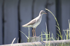 """redshank • <a style=""""font-size:0.8em;"""" href=""""http://www.flickr.com/photos/157241634@N04/41702639454/"""" target=""""_blank"""">View on Flickr</a>"""