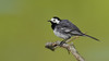 Bergeronnette grise (guiguid45) Tags: nature sauvage oiseaux bird passereaux loiret loire d810 500mmf4 nikon bergeronnettegrise motacillaalba whitewagtail passériformes motacillidés affût