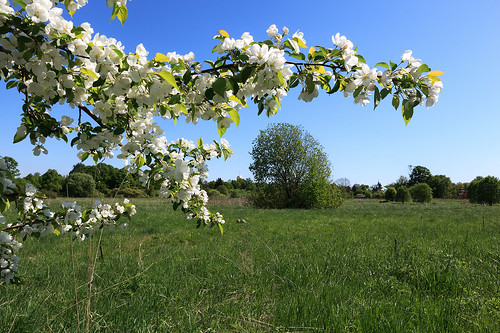 Landscape with a white apple tree.