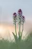 Crimson peaks (Wizmatt) Tags: neotinea ustulata burnttip orchid burnt tip flower plant wiltshire