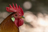 Oasi di Sant'Alessio (Guido Barberis) Tags: gallo gallina galeina oasi santalessio galina pilaster pollo valle spluga galletto sempre tenero mai grasso natura parco lombardia
