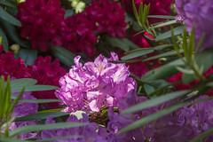 Spring (bertrandwaridel) Tags: 2018 echallens may spring switzerland vaud flower flowers plants suisse