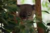 Australia_2018-85.jpg (emmachachere) Tags: subtropical trees hike waterfall boatride springbrook australia rainforest kanagroo animals koala brisbane boat lonepinekoalasanctuary
