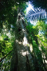 Australia_2018-108.jpg (emmachachere) Tags: subtropical trees hike waterfall boatride springbrook australia rainforest kanagroo animals koala brisbane boat lonepinekoalasanctuary