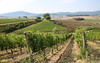 Italy 2016-38 (PhotoPack1) Tags: italy sienna florence tuscany vineyards wine grapes