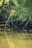 20180609-Dechsendorfer Weiher, Eisvogel, Tiere, Vögel-004.jpg (serpentes80) Tags: eisvogel vögel tiere dechsendorferweiher vogel