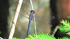 Dragonfly (Suzanham) Tags: macro dragonfly wings insect bug nature mississippi wildlife odonata