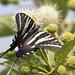 zebra swallowtail butterfly on buttonbush plant